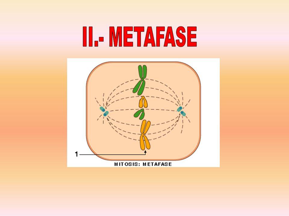 II.- METAFASE