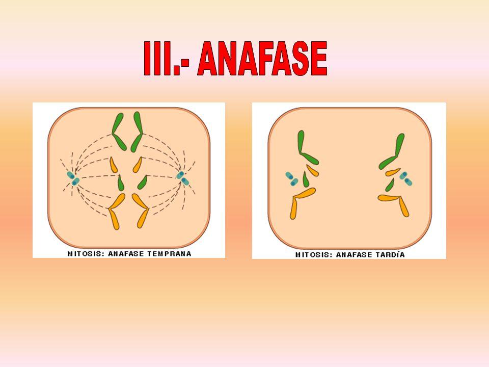 III.- ANAFASE