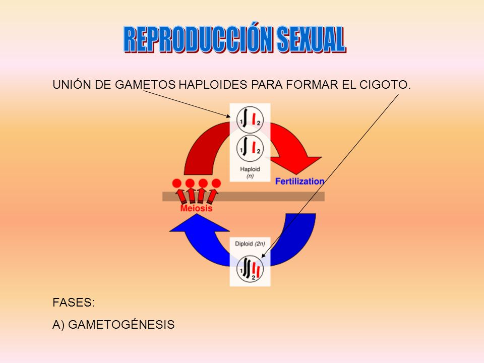 REPRODUCCIÓN SEXUAL UNIÓN DE GAMETOS HAPLOIDES PARA FORMAR EL CIGOTO.
