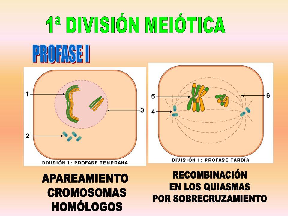 1ª DIVISIÓN MEIÓTICA PROFASE I. RECOMBINACIÓN. EN LOS QUIASMAS. POR SOBRECRUZAMIENTO. APAREAMIENTO.