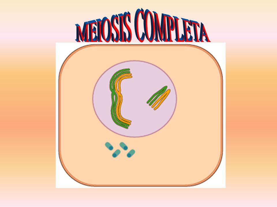 MEIOSIS COMPLETA