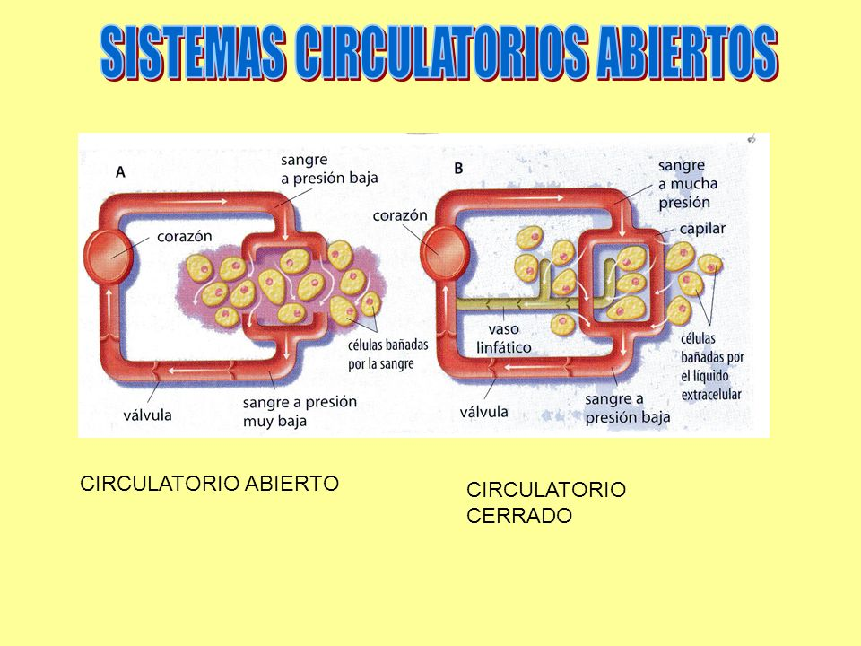 SISTEMAS CIRCULATORIOS ABIERTOS