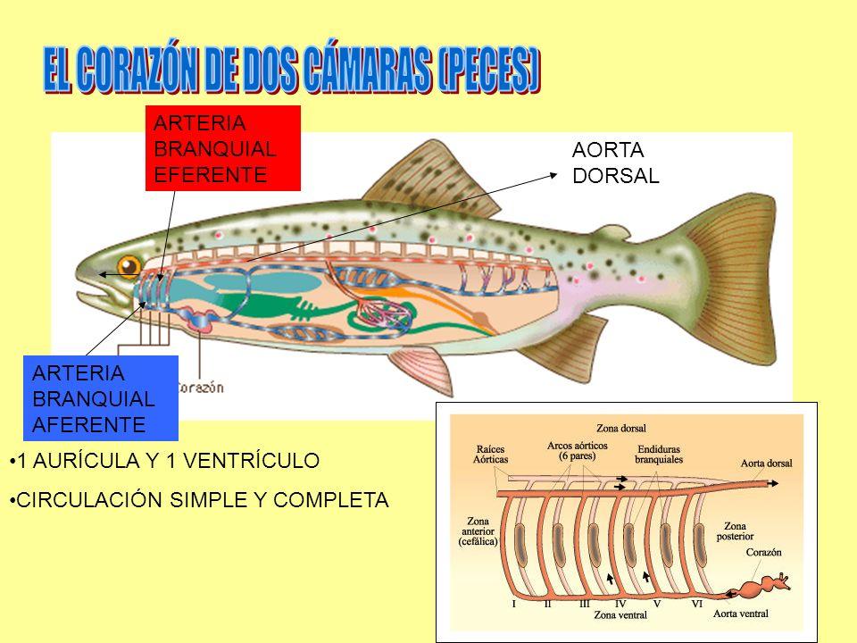 EL CORAZÓN DE DOS CÁMARAS (PECES)