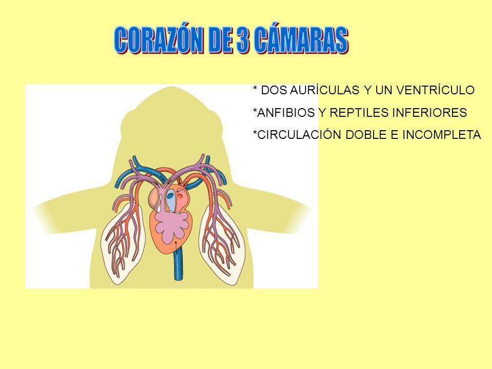 CORAZÓN DE 3 CÁMARAS * DOS AURÍCULAS Y UN VENTRÍCULO