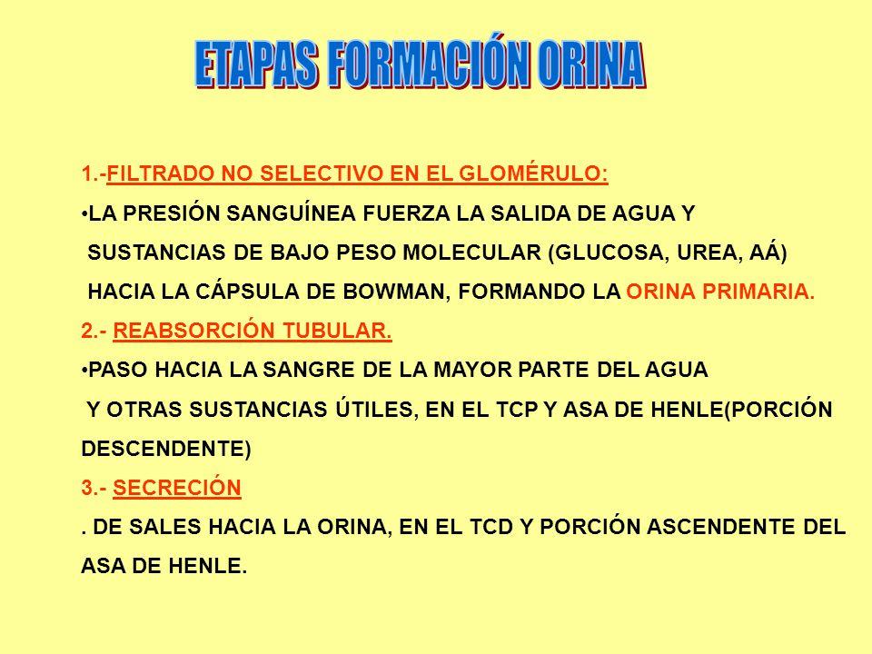 ETAPAS FORMACIÓN ORINA