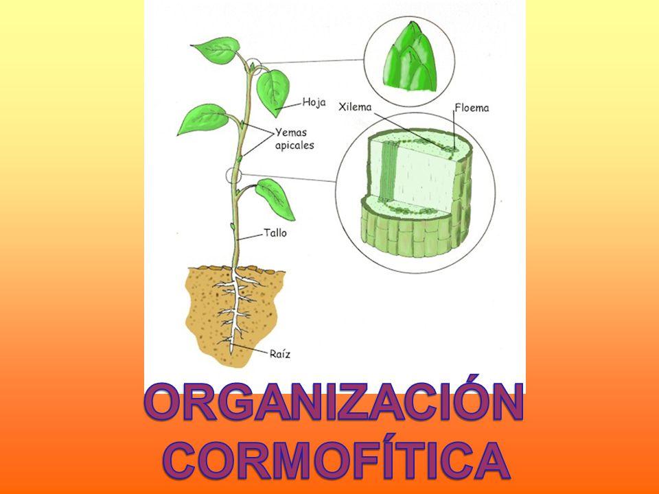 ORGANIZACIÓN CORMOFÍTICA