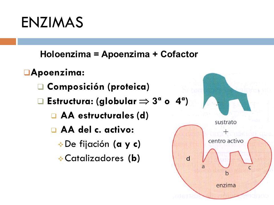ENZIMAS Apoenzima: Composición (proteica)