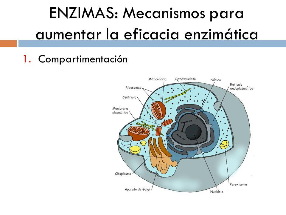 ENZIMAS: Mecanismos para aumentar la eficacia enzimática