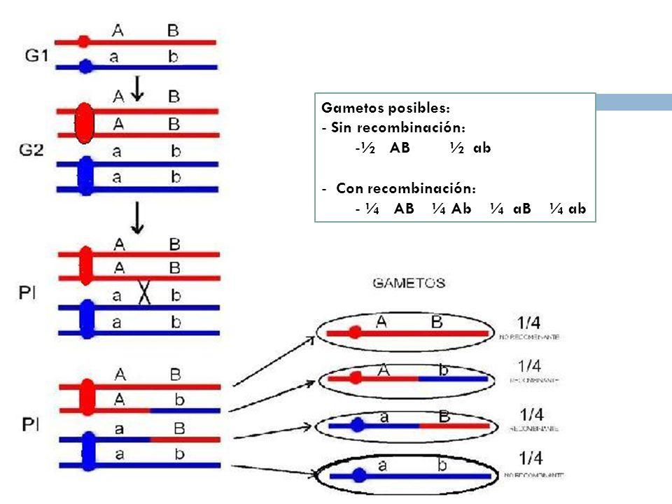 Gametos posibles: Sin recombinación: ½ AB ½ ab.