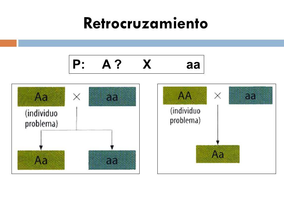 Retrocruzamiento P: A X aa