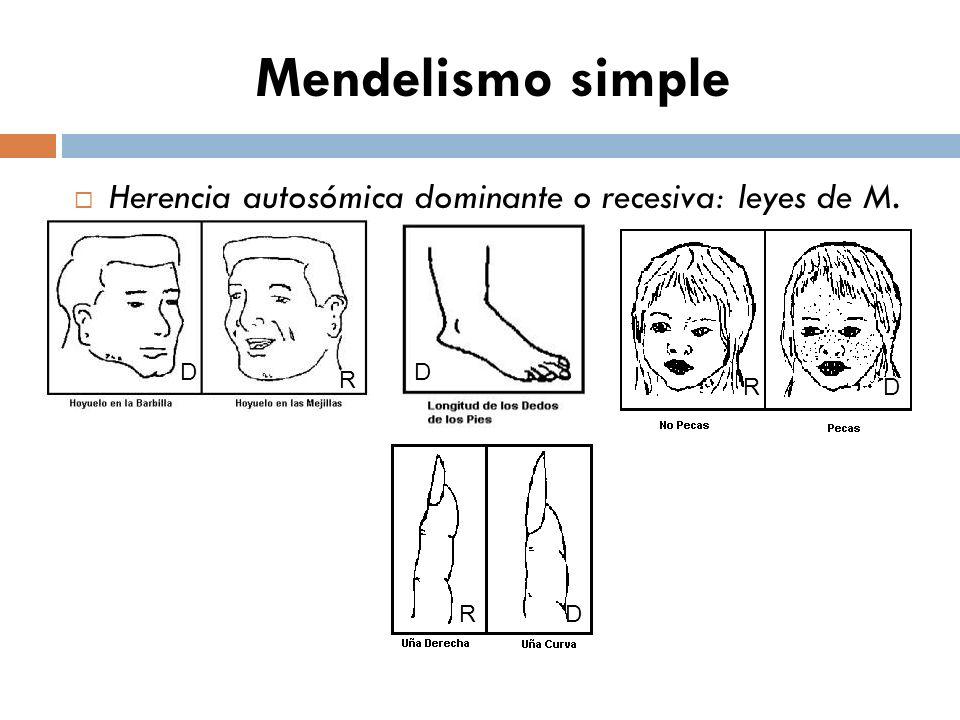 Mendelismo simple Herencia autosómica dominante o recesiva: leyes de M. D D R R D R D