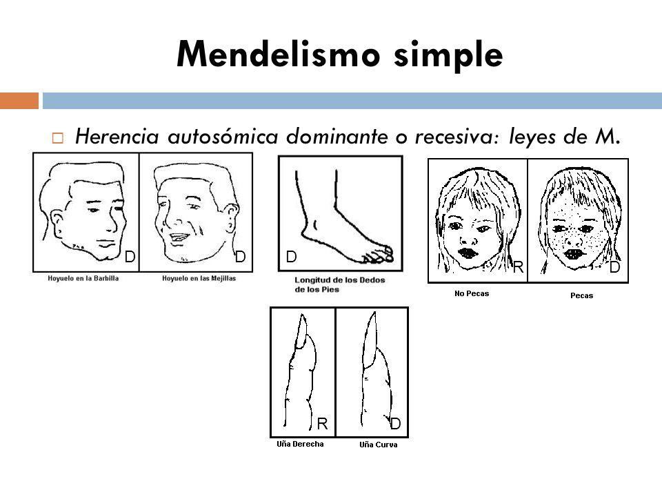 Mendelismo simple Herencia autosómica dominante o recesiva: leyes de M. D D D R D R D