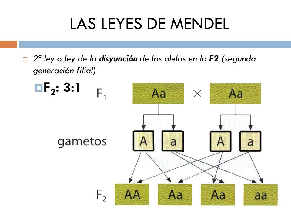 LAS LEYES DE MENDEL 2ª ley o ley de la disyunción de los alelos en la F2 (segunda generación filial)