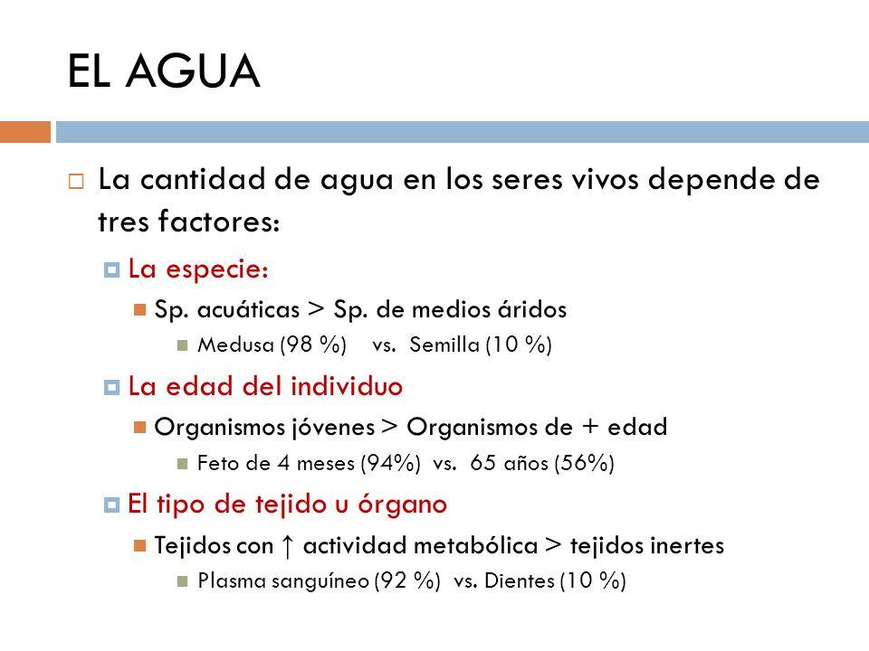 EL AGUA La cantidad de agua en los seres vivos depende de tres factores: La especie: Sp. acuáticas > Sp. de medios áridos.