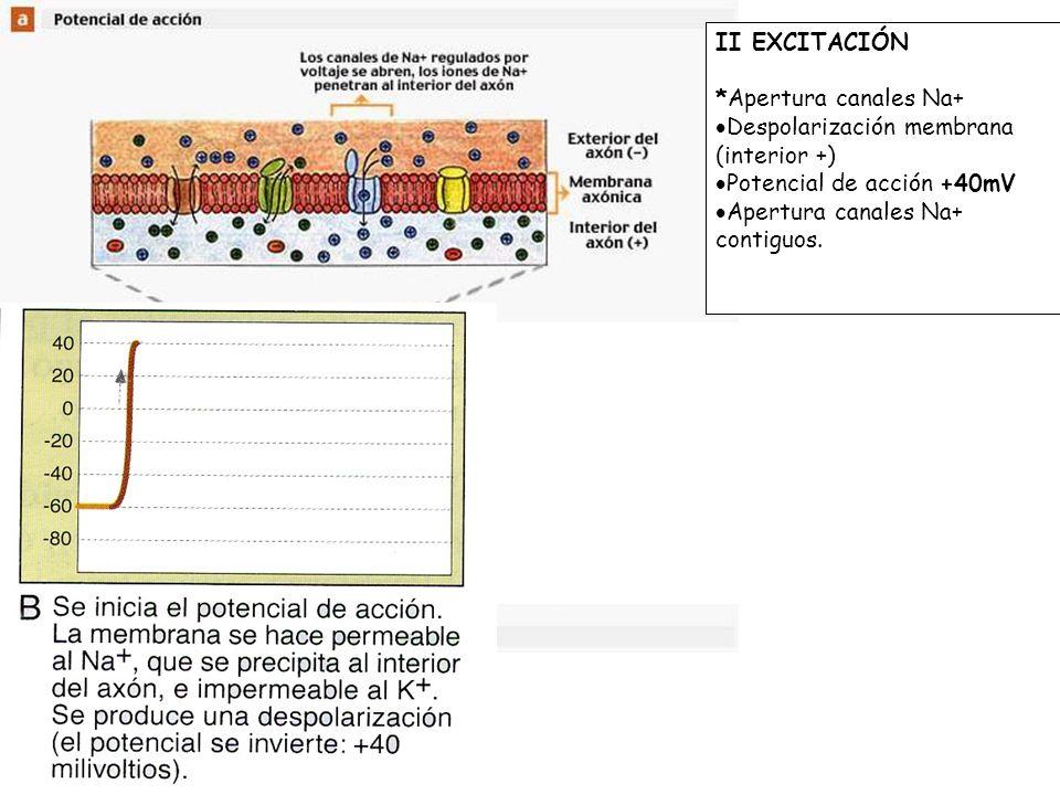 II EXCITACIÓN *Apertura canales Na+ Despolarización membrana (interior +) Potencial de acción +40mV.