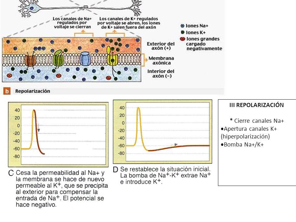 III REPOLARIZACIÓN * Cierre canales Na+ Apertura canales K+ (hiperpolarización) Bomba Na+/K+