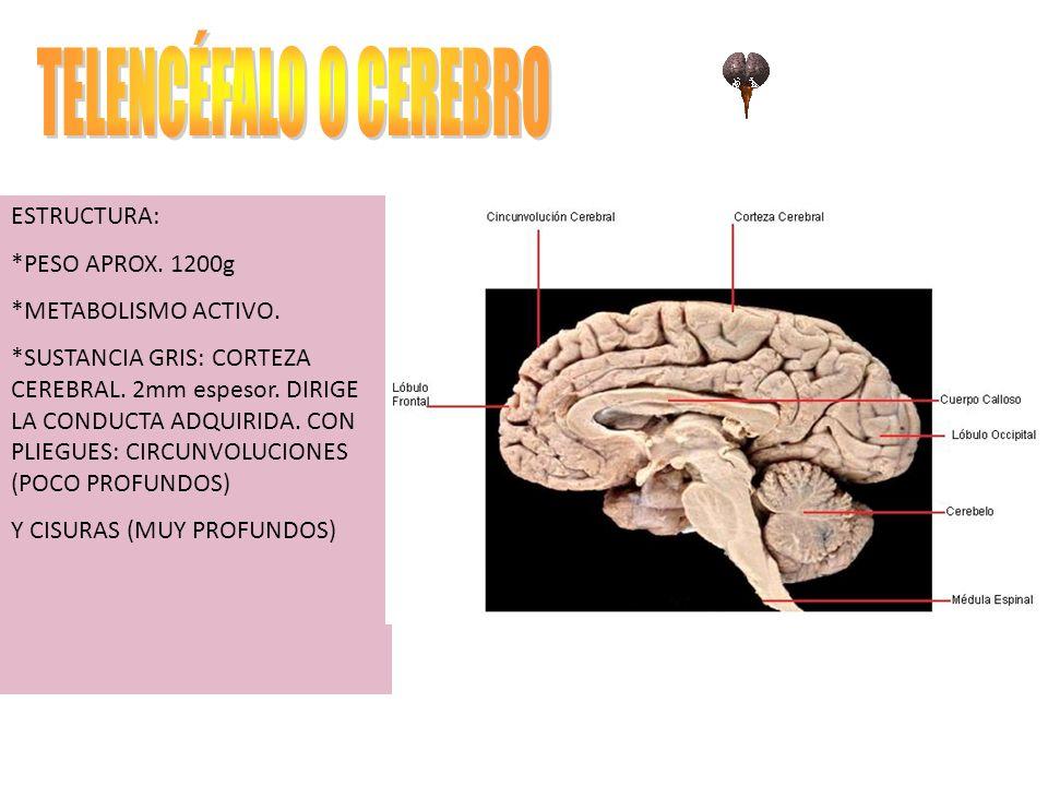 TELENCÉFALO O CEREBRO ESTRUCTURA: *PESO APROX. 1200g