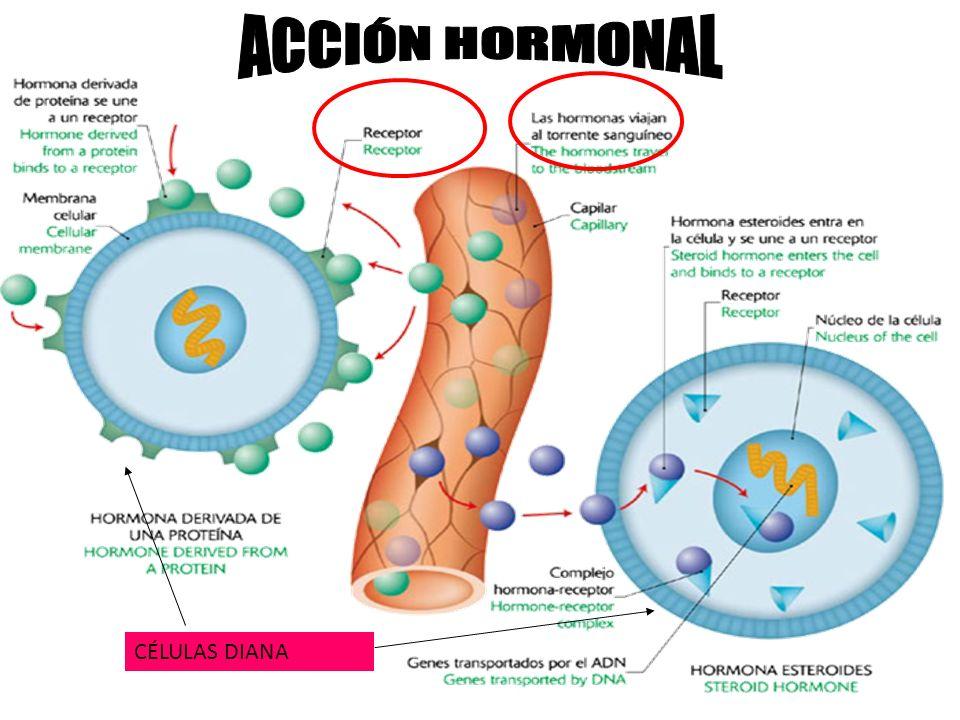 ACCIÓN HORMONAL CÉLULAS DIANA