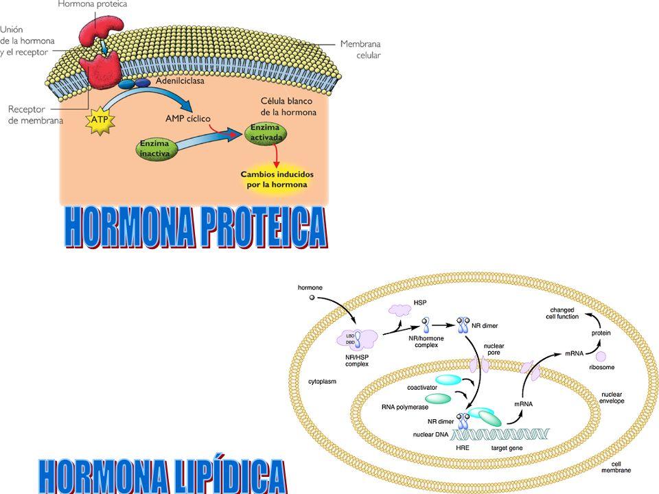 HORMONA PROTEICA HORMONA LIPÍDICA