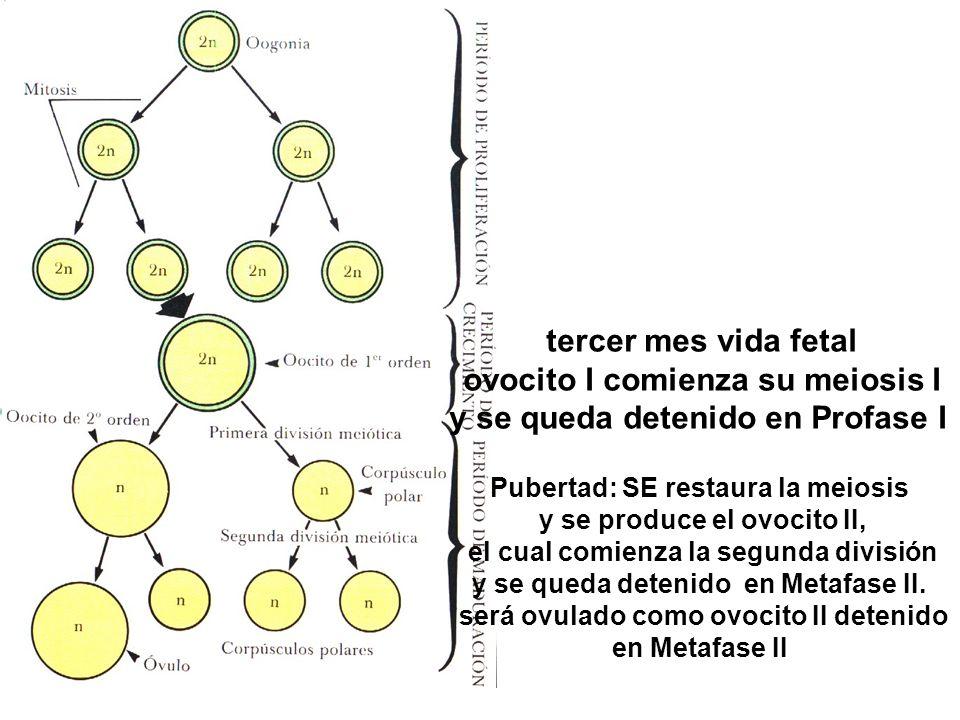 ovocito I comienza su meiosis I y se queda detenido en Profase I