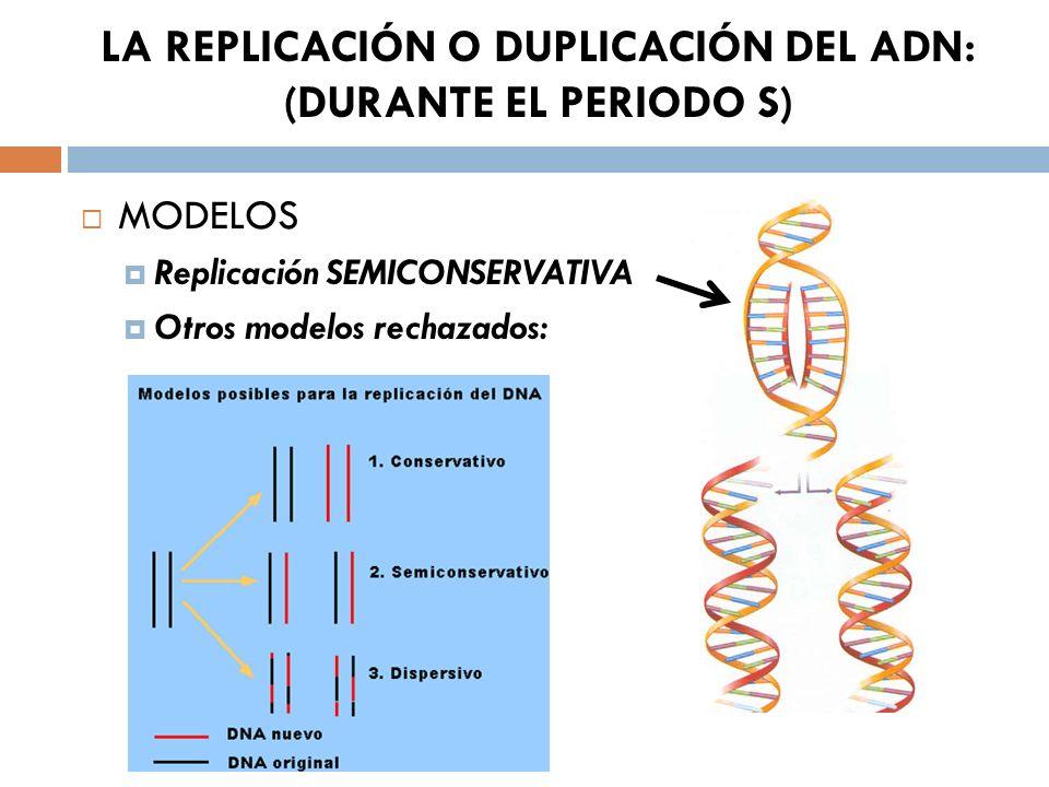 LA REPLICACIÓN O DUPLICACIÓN DEL ADN: (DURANTE EL PERIODO S)