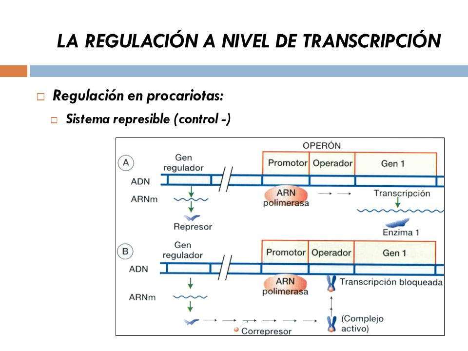 LA REGULACIÓN A NIVEL DE TRANSCRIPCIÓN