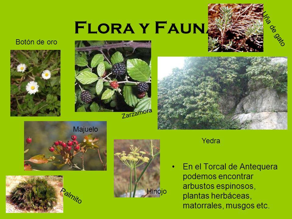 Flora y Fauna Uña de gato. Botón de oro. Zarzamora. Majuelo. Yedra.