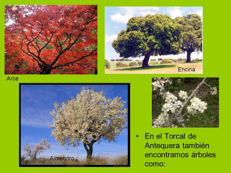 En el Torcal de Antequera también encontramos árboles como: