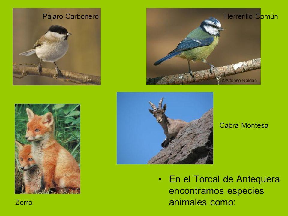 En el Torcal de Antequera encontramos especies animales como: