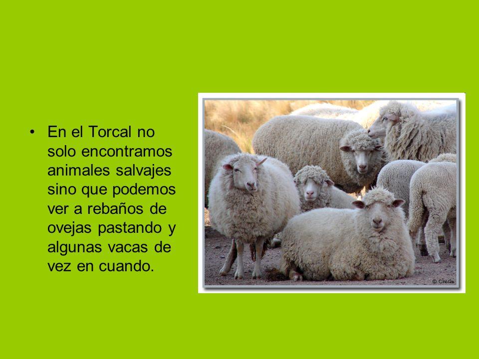 En el Torcal no solo encontramos animales salvajes sino que podemos ver a rebaños de ovejas pastando y algunas vacas de vez en cuando.