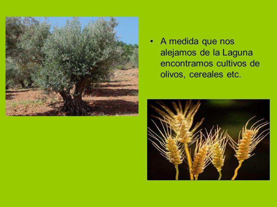 A medida que nos alejamos de la Laguna encontramos cultivos de olivos, cereales etc.