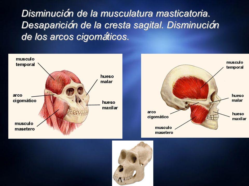 Disminución de la musculatura masticatoria