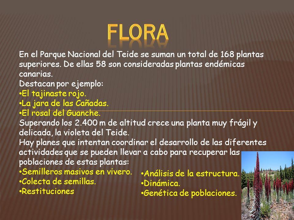 FLORA En el Parque Nacional del Teide se suman un total de 168 plantas superiores. De ellas 58 son consideradas plantas endémicas canarias.
