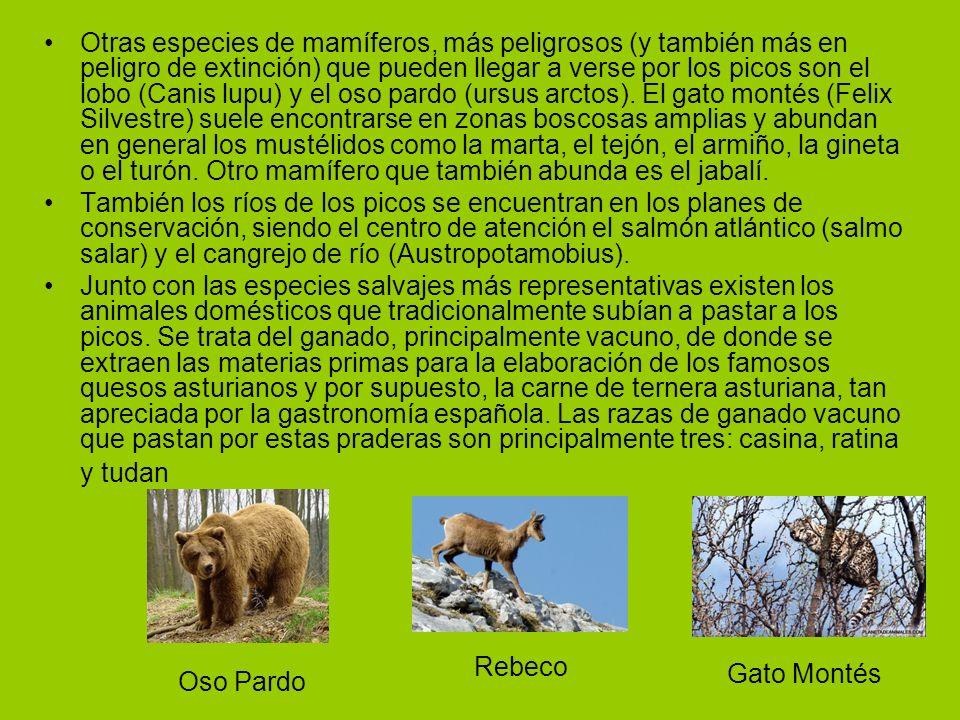 Otras especies de mamíferos, más peligrosos (y también más en peligro de extinción) que pueden llegar a verse por los picos son el lobo (Canis lupu) y el oso pardo (ursus arctos). El gato montés (Felix Silvestre) suele encontrarse en zonas boscosas amplias y abundan en general los mustélidos como la marta, el tejón, el armiño, la gineta o el turón. Otro mamífero que también abunda es el jabalí.