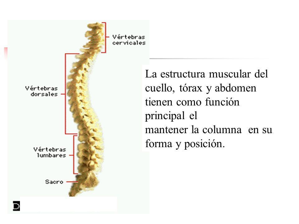 La estructura muscular del