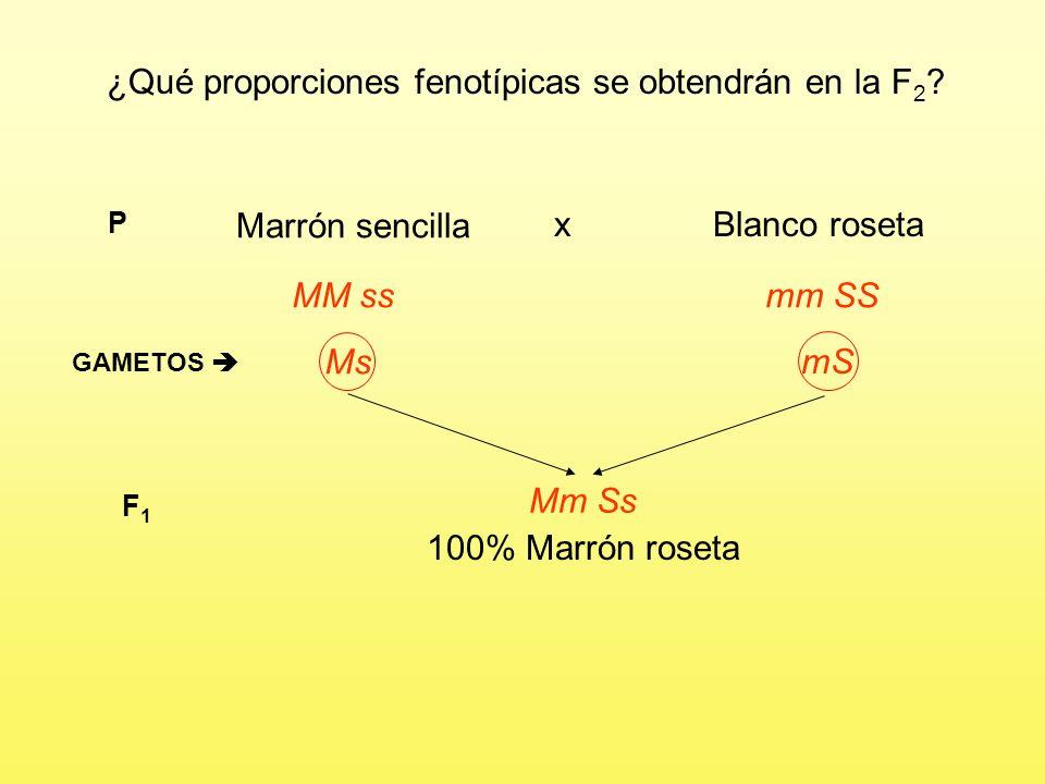 ¿Qué proporciones fenotípicas se obtendrán en la F2