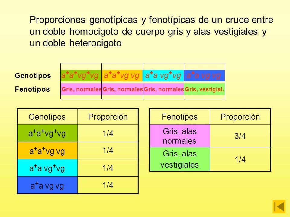 Proporciones genotípicas y fenotípicas de un cruce entre un doble homocigoto de cuerpo gris y alas vestigiales y un doble heterocigoto