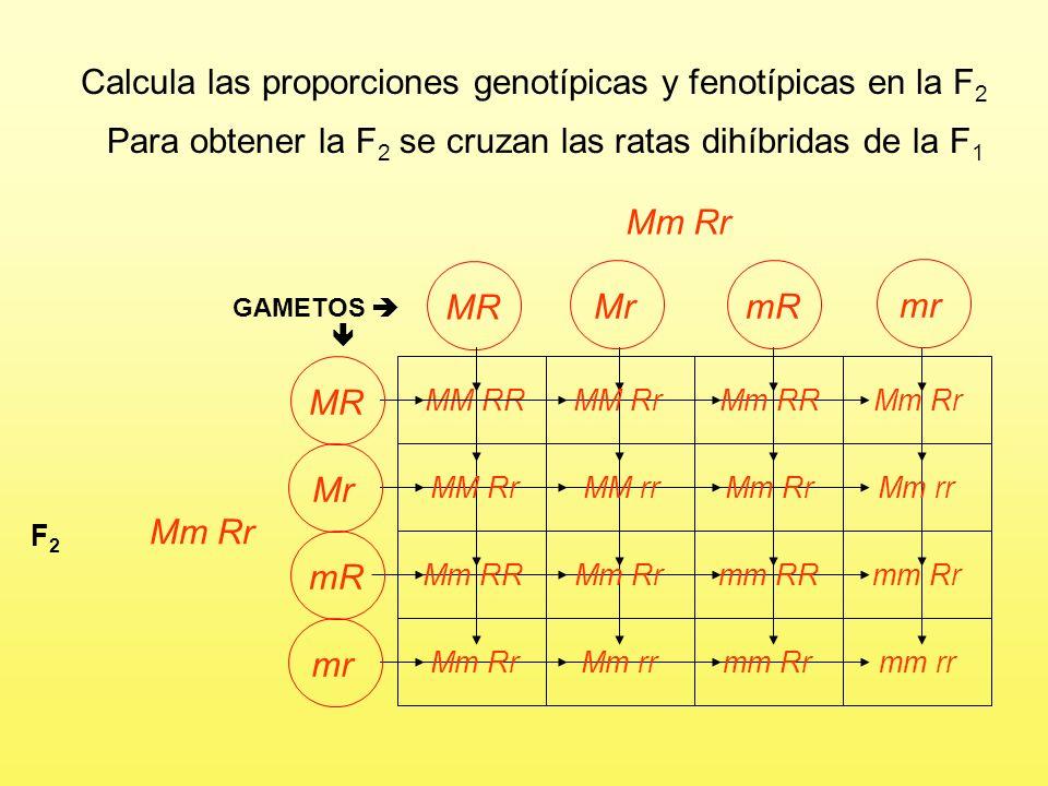 Calcula las proporciones genotípicas y fenotípicas en la F2