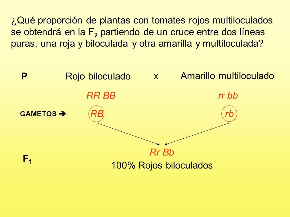 Amarillo multiloculado