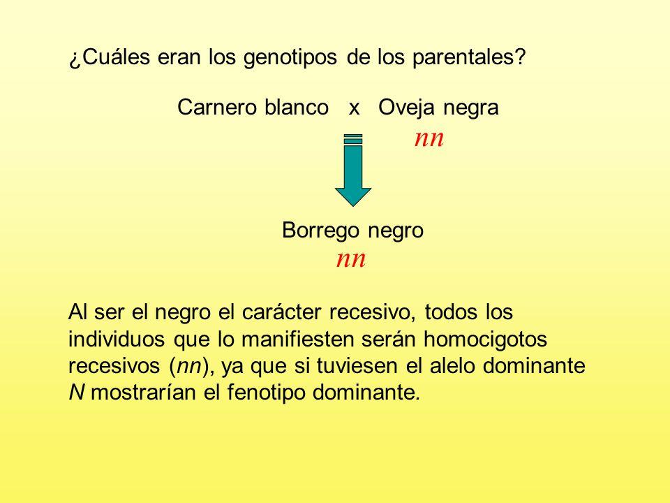 Carnero blanco x Oveja negra