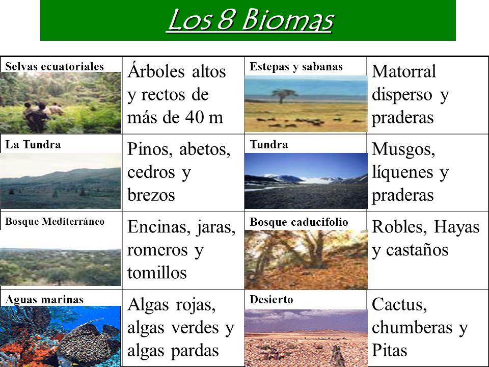 Los 8 Biomas Árboles altos y rectos de más de 40 m