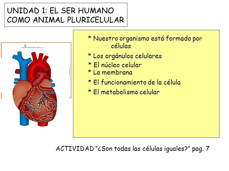 UNIDAD 1: EL SER HUMANO COMO ANIMAL PLURICELULAR
