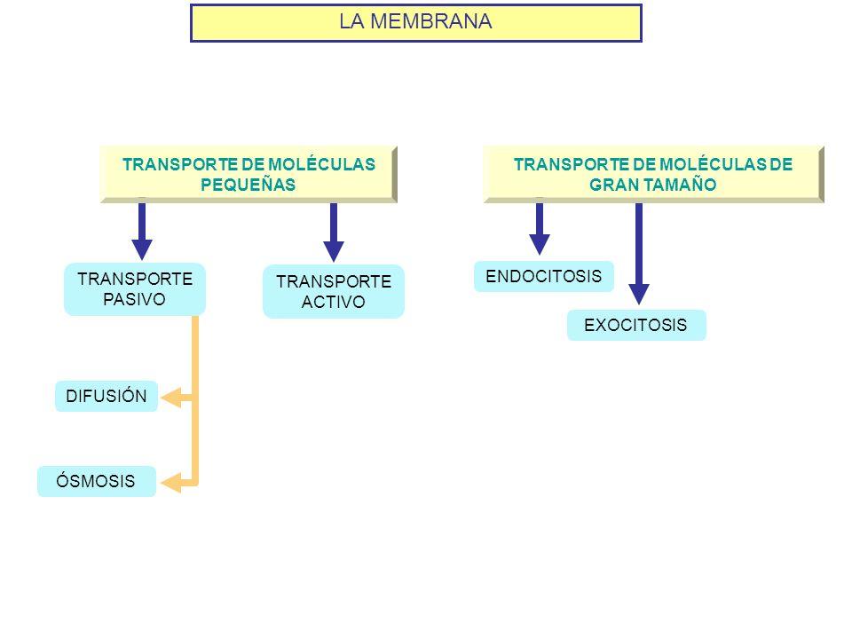 LA MEMBRANA TRANSPORTE DE MOLÉCULAS PEQUEÑAS