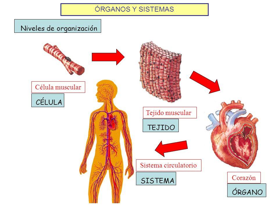 ÓRGANOS Y SISTEMAS Niveles de organización. Célula muscular. CÉLULA. Tejido muscular. TEJIDO. Sistema circulatorio.