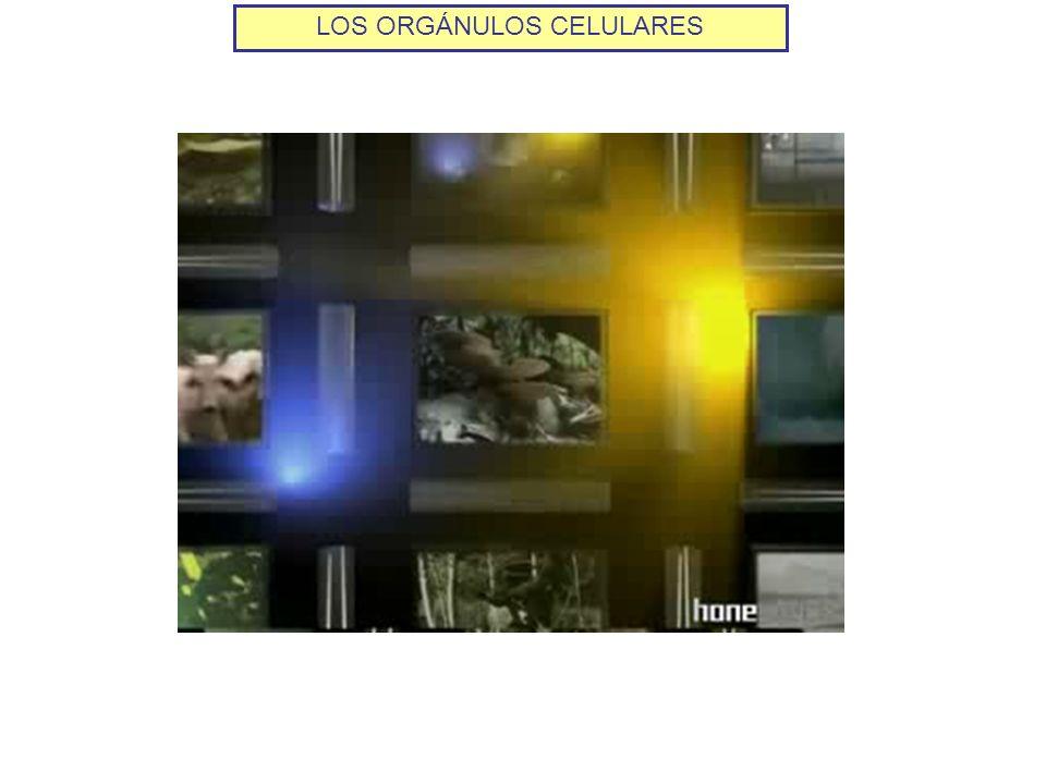 LOS ORGÁNULOS CELULARES