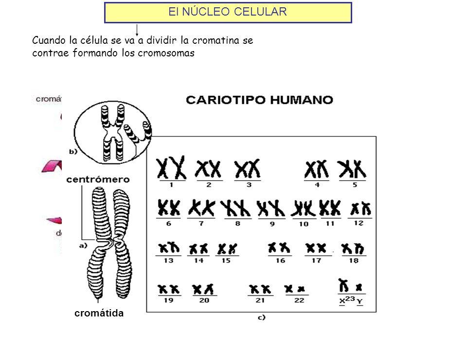El NÚCLEO CELULAR Cuando la célula se va a dividir la cromatina se contrae formando los cromosomas.
