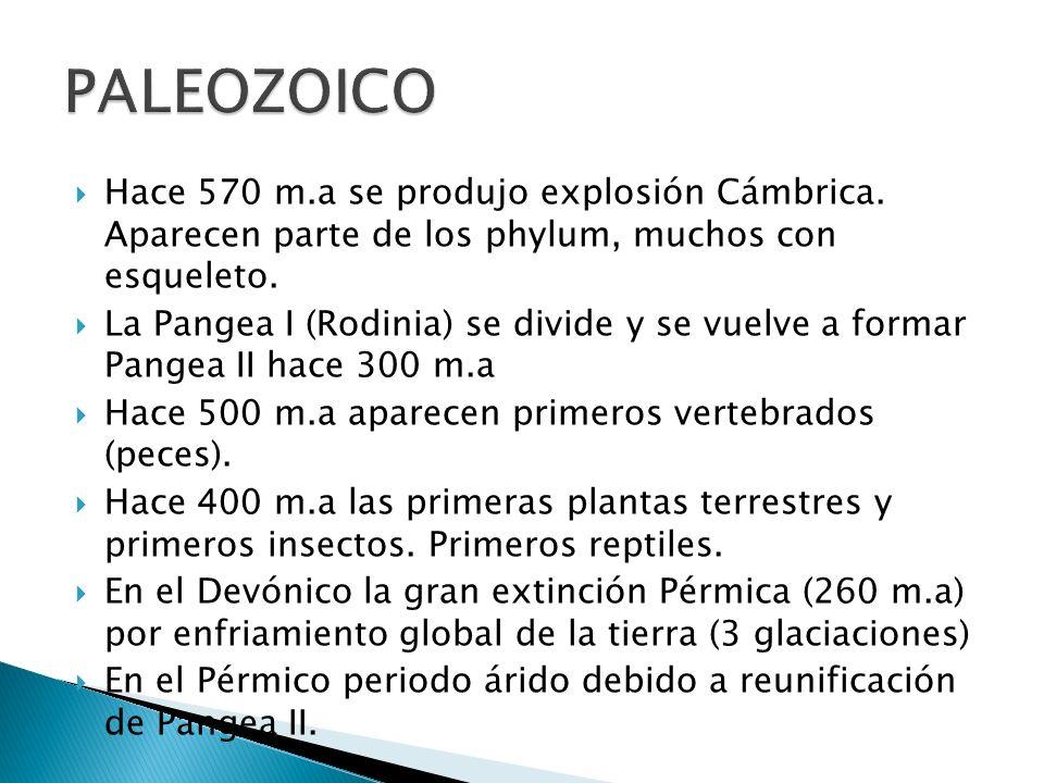 PALEOZOICO Hace 570 m.a se produjo explosión Cámbrica. Aparecen parte de los phylum, muchos con esqueleto.