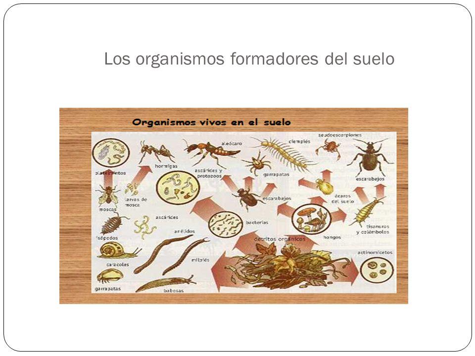 Los organismos formadores del suelo