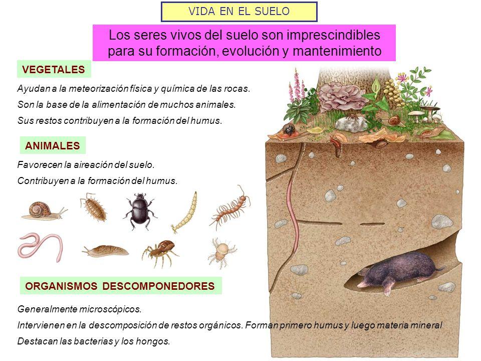 VIDA EN EL SUELO Los seres vivos del suelo son imprescindibles para su formación, evolución y mantenimiento.