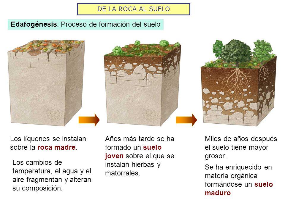 Edafogénesis: Proceso de formación del suelo